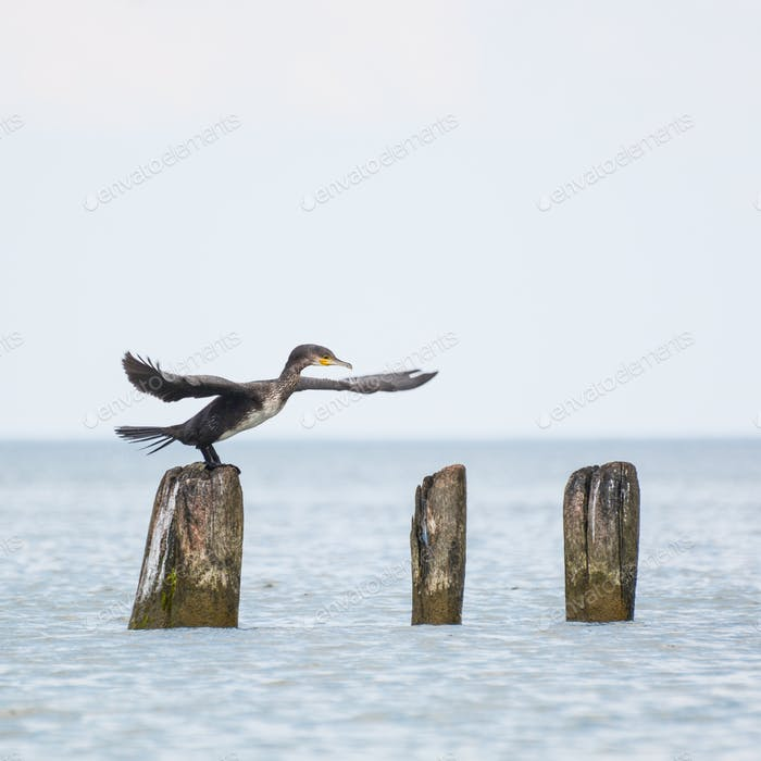 Cormorant doing a dance on a pole in the Baltic sea