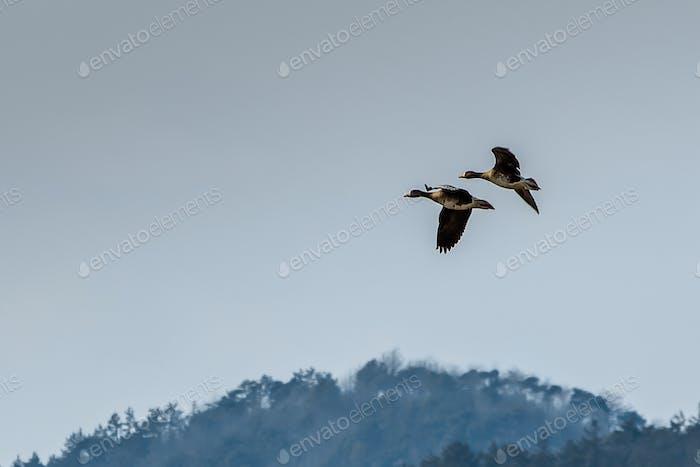 Flying birds  at Naju, South Korea