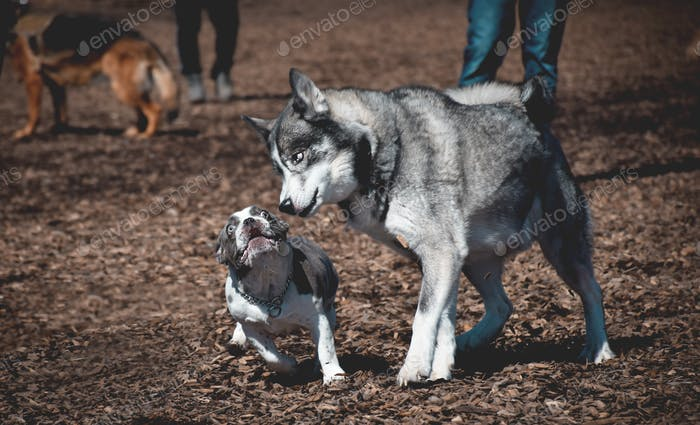 Husky dog trying to intimidate french bulldog at an off leash dog park