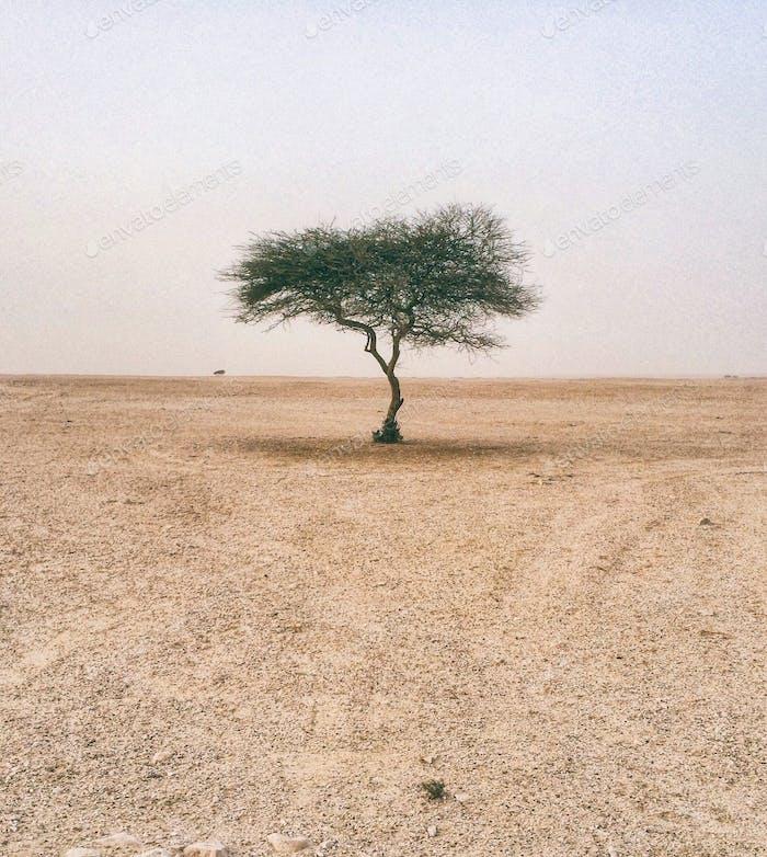 Tree. Desert. One. Tree. Doha. Qatar.