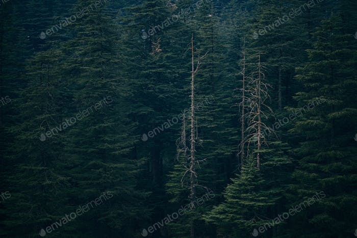 Wald in Manali, Indien.