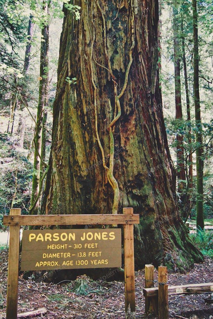 Schön geschützter CALIFORNIA Redwood