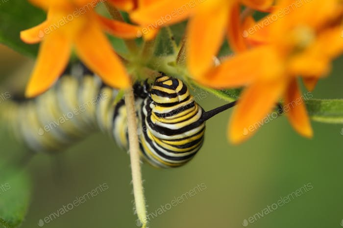 Butterfly weed and a caterpillar