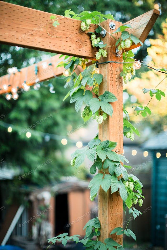 Hops grow on backyard trellace