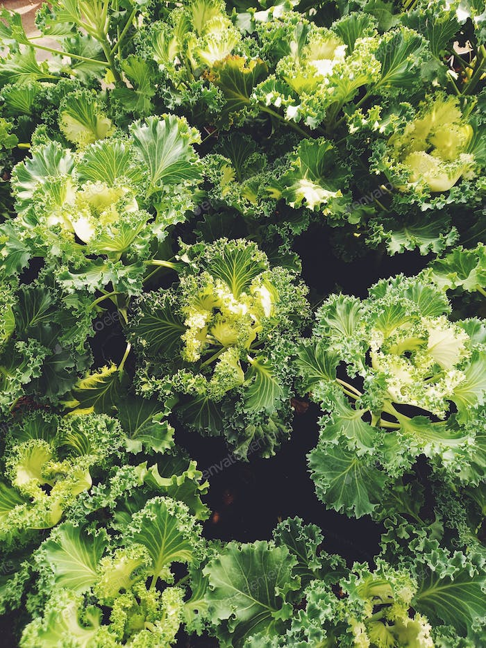 Green plants background ornamental cabbage