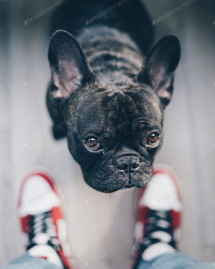 French bulldog and sneakers