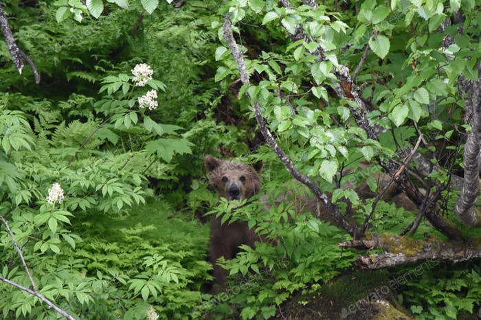 Baby grizzly bear cub hiding in the woods-nominated