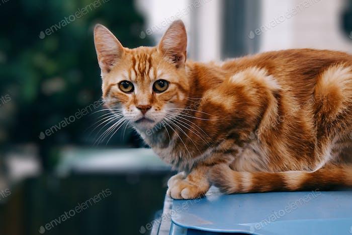 Portrait of sitting orange tabby cat