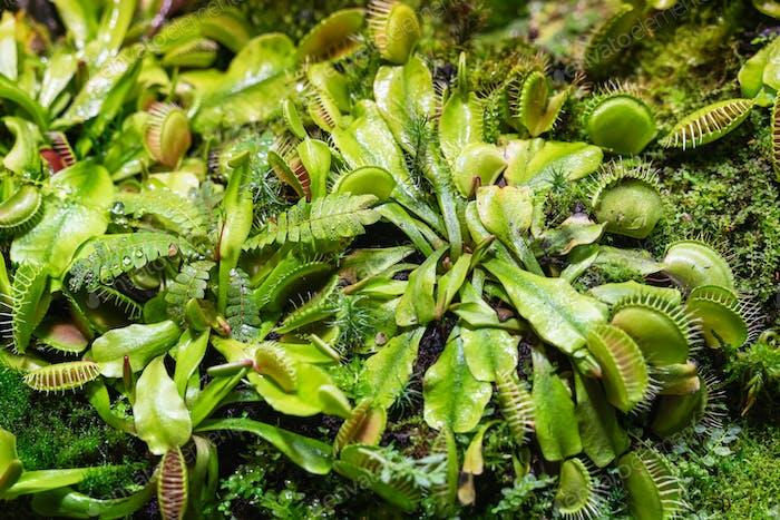 ☀ NOMINIERT!!! ☀ Venusfliegenfalle, grüne Kiefer, pflanzliches Raubtier, selektiver Fokus natürlicher Hintergrund