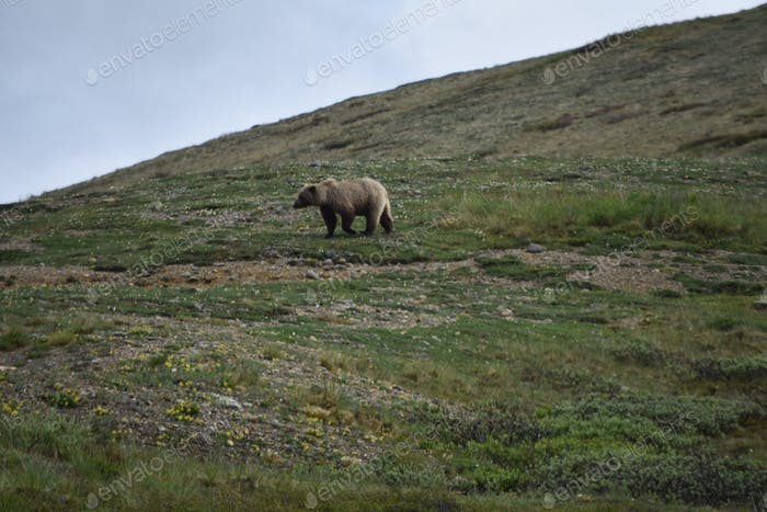 Mama grizzly bear walking across the mountain tundra