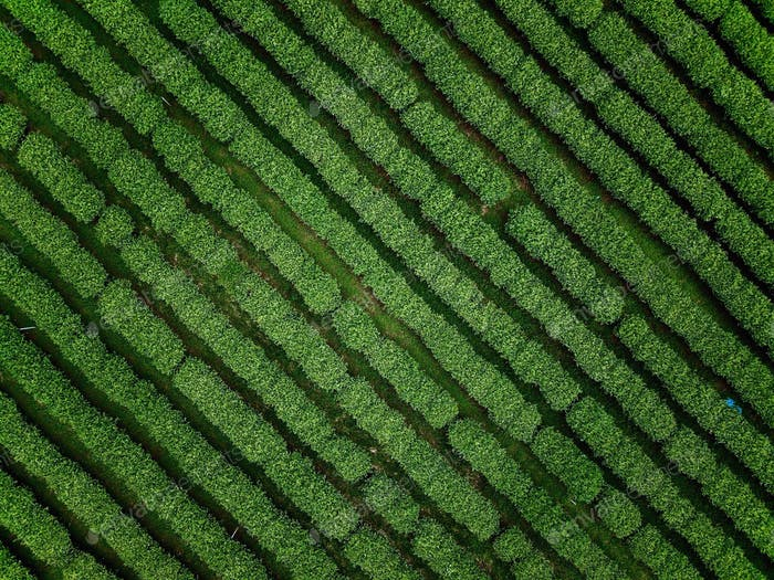 Diagonal rows of tea plantation trees in the northern Thailand, shot by a drone.