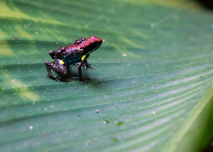 Pfeilgiftfrosch mit Kaulquappen auf dem Rücken auf einem grünen Blatt im Amazonas-Regenwald