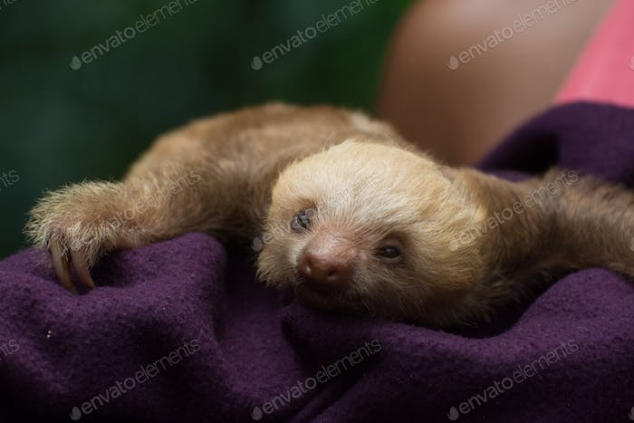 Baby sloth, seen in an animal rescue center in Costa Rica