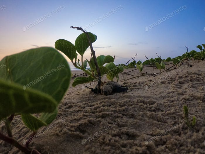 Loggerhead turtle hatchling in dune vegetation making its way to the ocean.