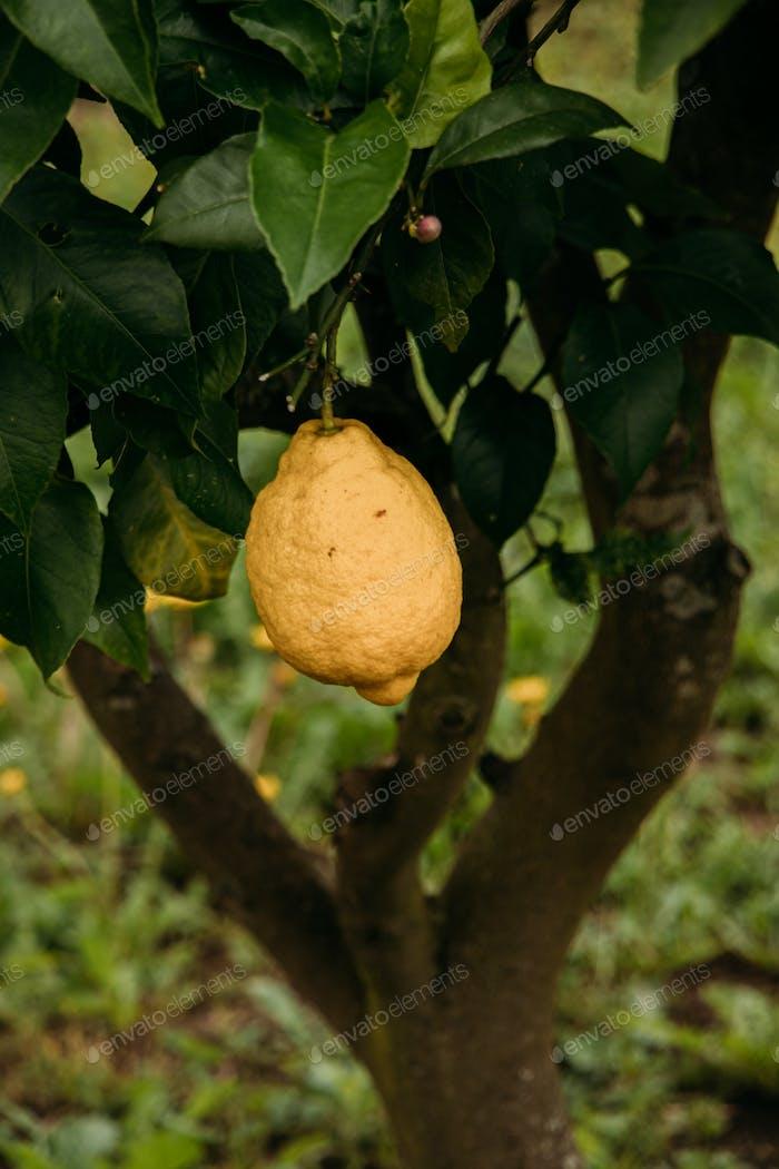 Citrus fruit. Lemon. Healthy food. Yellow. Fresh fruits.