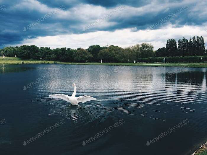 Gorgeous white swan in a dramatic landscape, ready for takeoff , park and trees