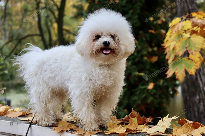 Bichon Frise furry friend. Dog in the park.
