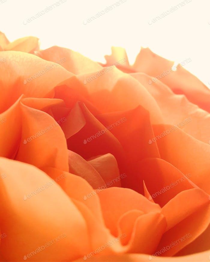 Rose is a rose, is a rose, is a rose 🌹