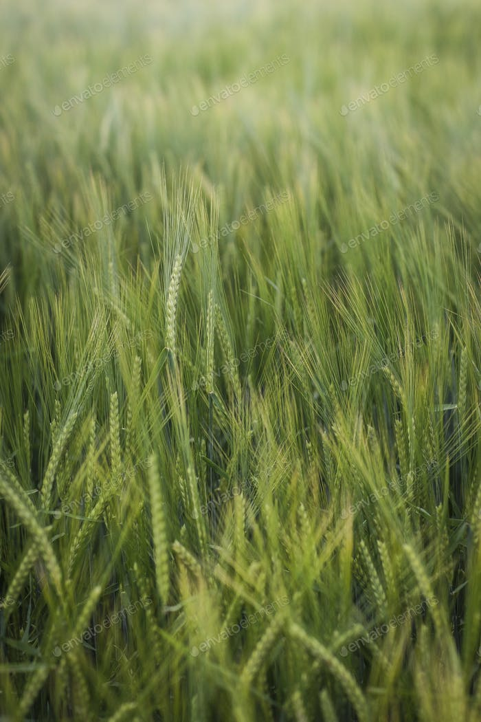 Blades of barley 🌾