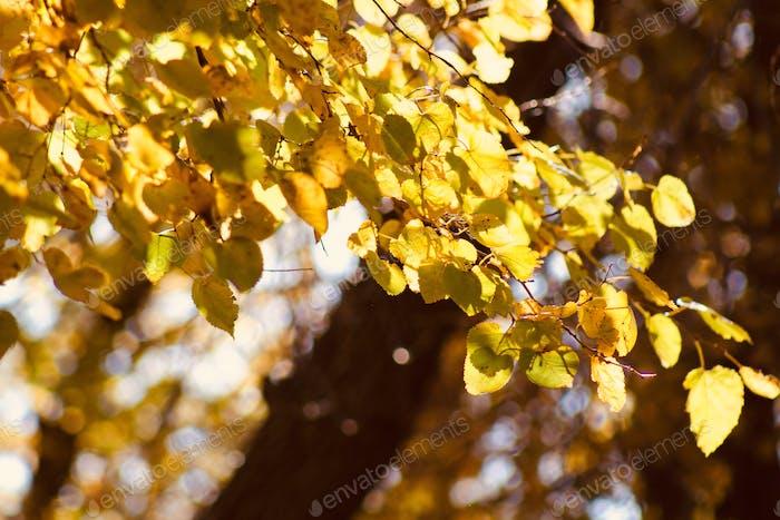 (nominated) Autumn Colors - Golden leaves illuminated by golden autumn sunshine