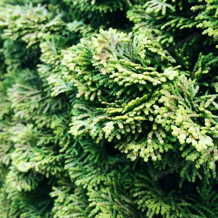 Green cypress bush: color and texture inspiration.