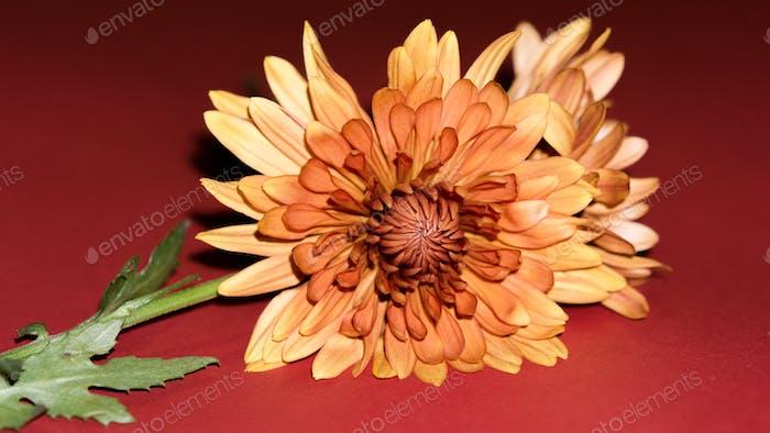 Bloom Orange Flower, Selektiver Fokus der exotischen Blüte Orangenblüte,