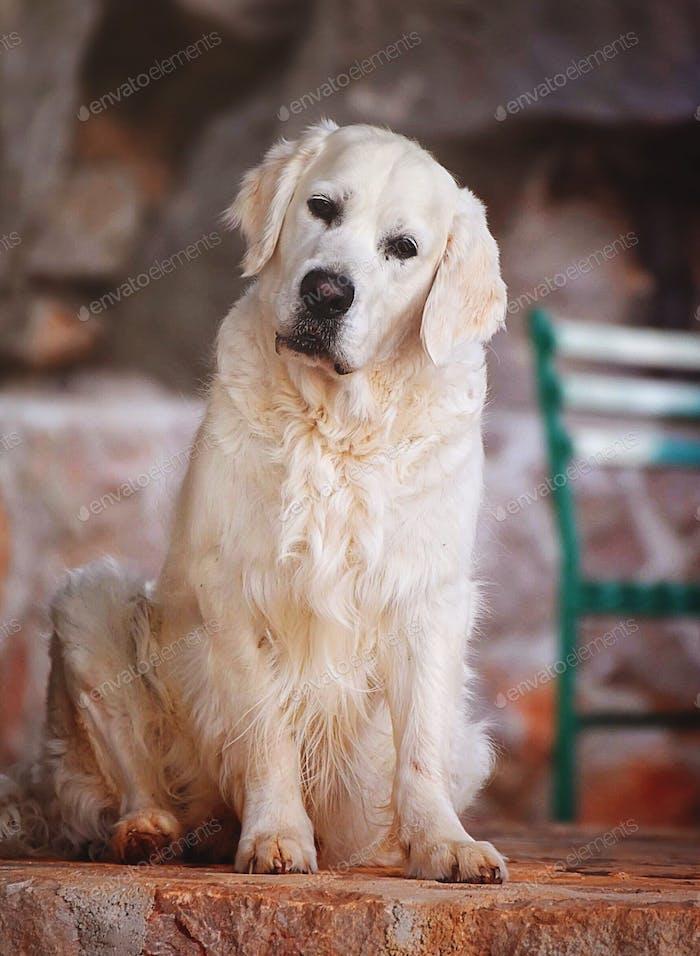 Ein schöner Hund, der in die Kamera schaut, mit seinem niedlichen Gesicht seitwärts geneigt. Goldener Retriever.