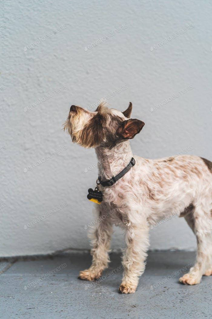 Miniature Schnauzer looking at camera against blue gray wall.
