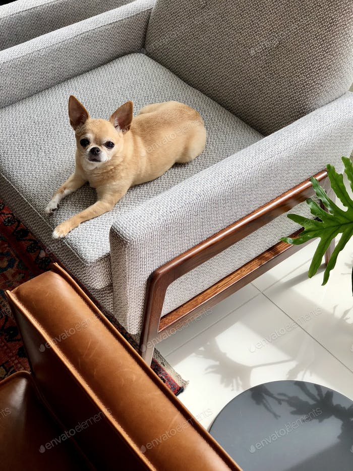 Chihuahua dog sitting on accent chair in living room