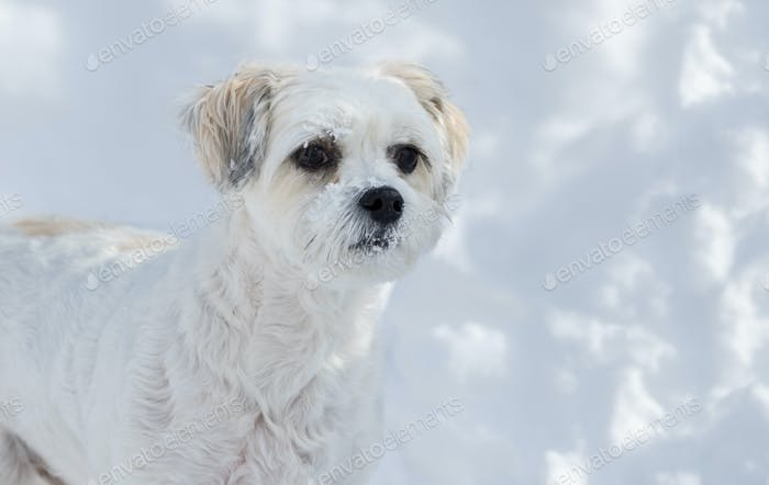 Dog blending with the snow