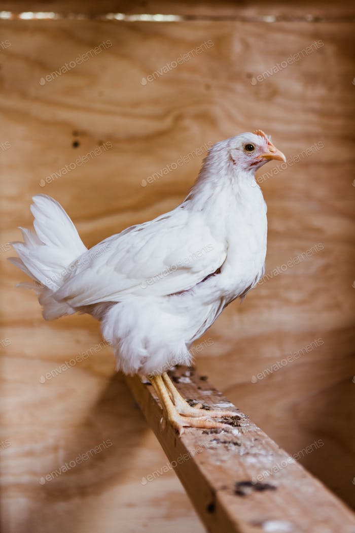 White chicken on a beam of wood inside a chicken coop, cute farm animal photo capture