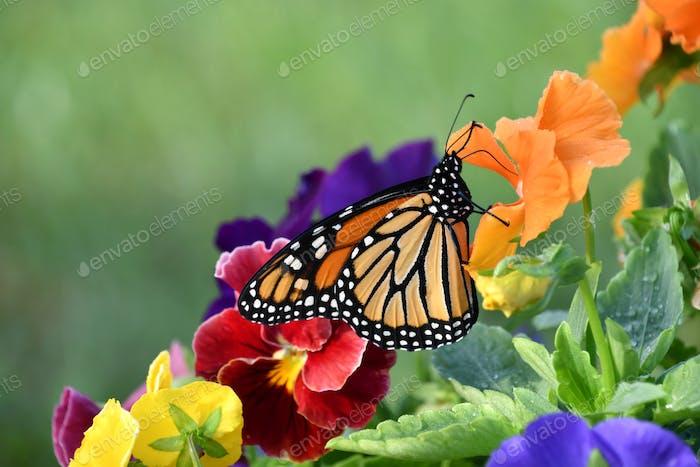 Oranger Monarchfalter mit seinen Flügeln, die auf bunten Stiefmütterchen Blumen aus