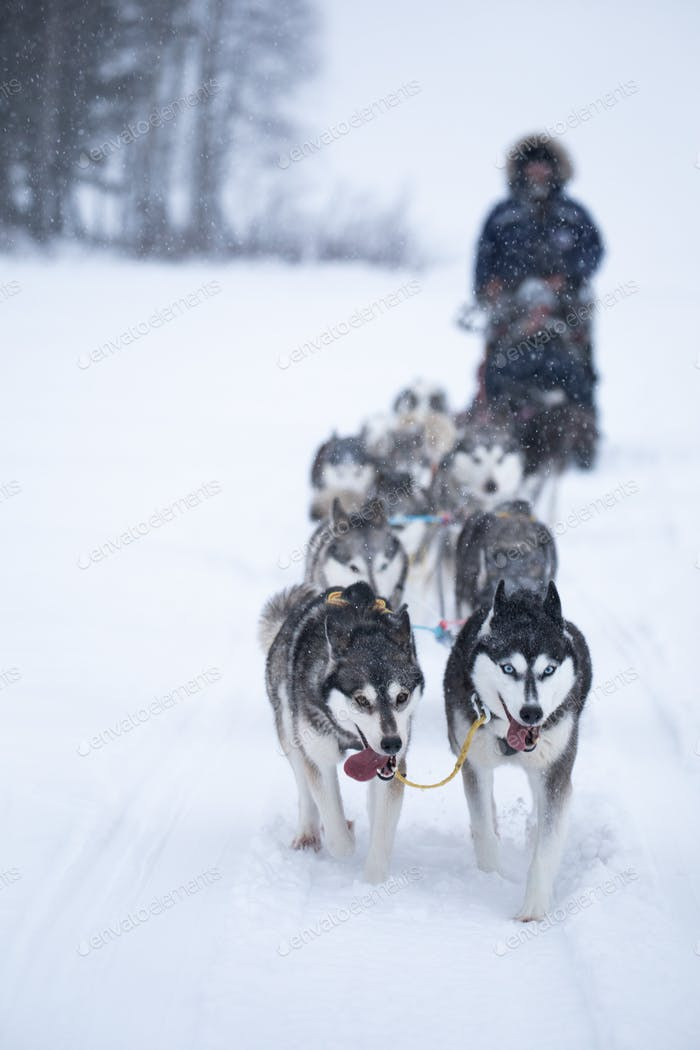 Husky dogs pulling a sleigh in snow in winter with close up of fierce eyes
