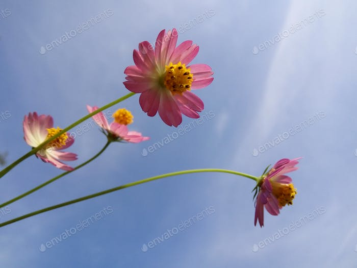 Beauty of cosmos