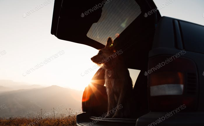 Beautiful funny dog traveler sitting in a car on a background of mountains and meets  Sunrise.