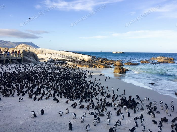 Penguin and black garnet colony on Boulders beach in Simons Town, Cape Town, South Africa