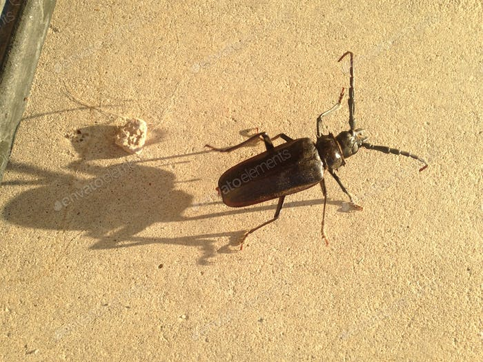 HUGE Scary Bug with his own shadow! A Palo Verde borer beetle.