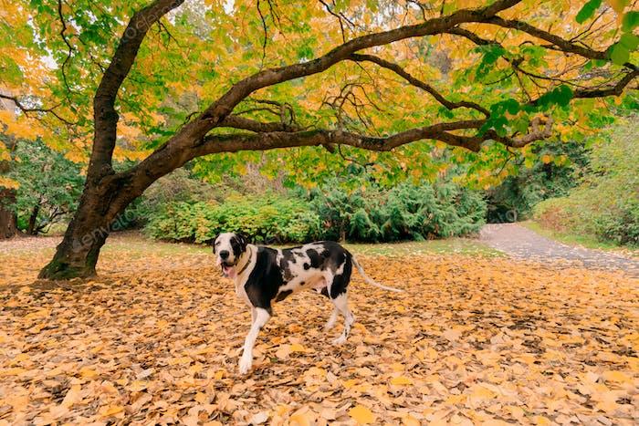 Harlequin great dane dog running in yellow autumn leaf park