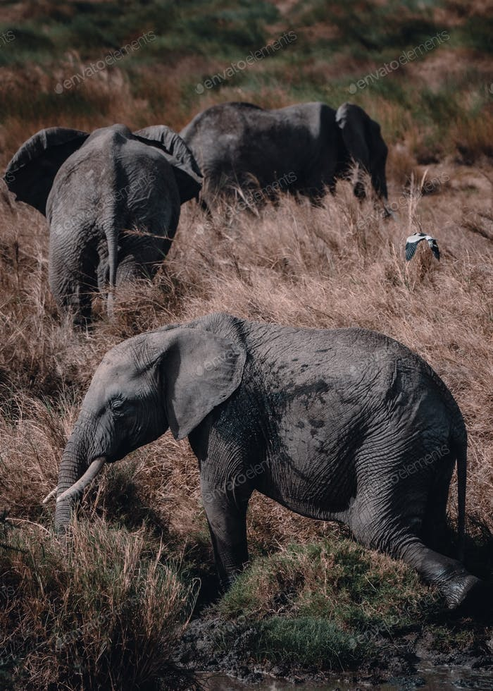 Ellies in Tanzania