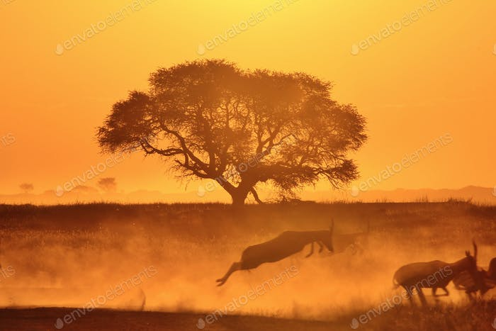 Golden Harmony of the Free - Blesbok and Camel Thorn Tree Silhouettes