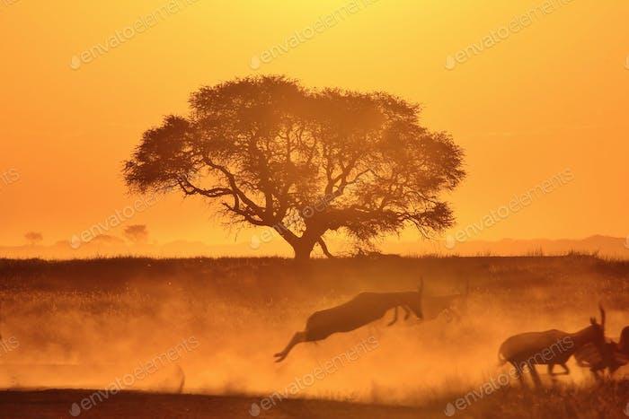 Goldene Harmonie der Freien - Blesbok und Kameldornbaum Silhouetten