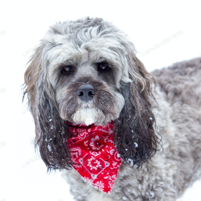 Biscuit the Cockapoo in the Snow
