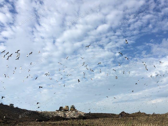 Birds flocking around a couple bulldozers at the landfill