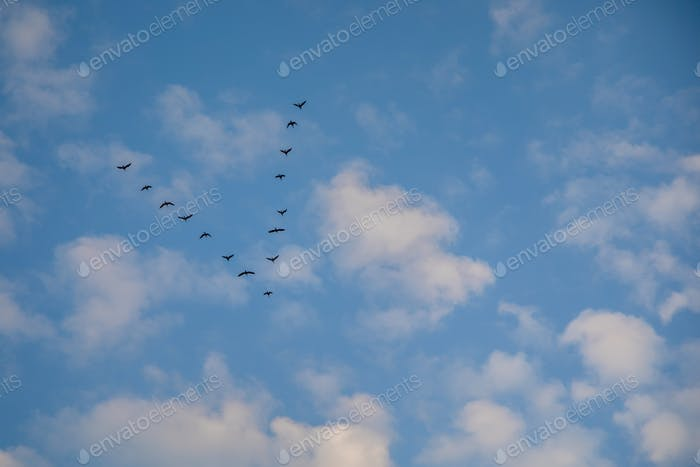 Migratory birds in blue sky