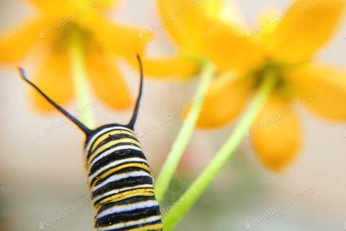 Monarch Caterpillar on yellow milkweed flowers