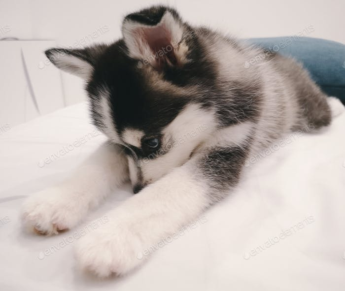 Pomsky puppy is looking shamefacedly