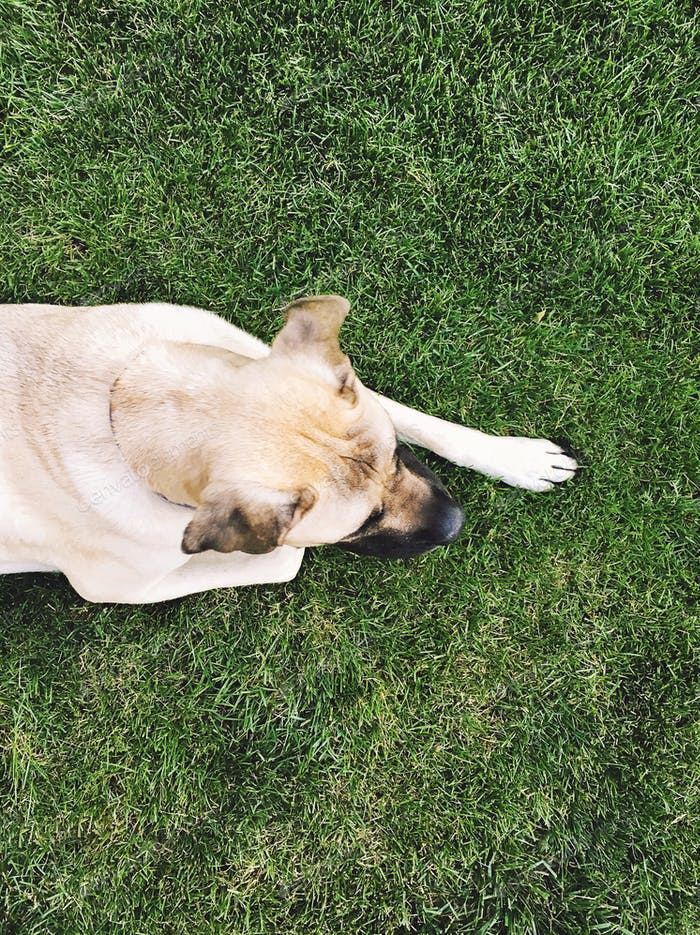 Looking down at English Mastiff dog on green grass.