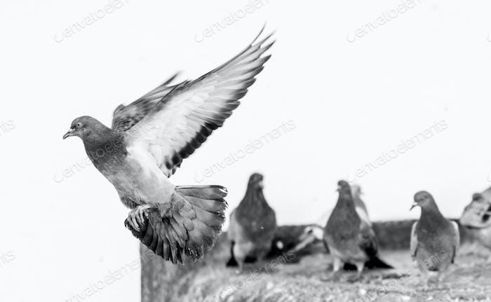 Pigeon mid-flight