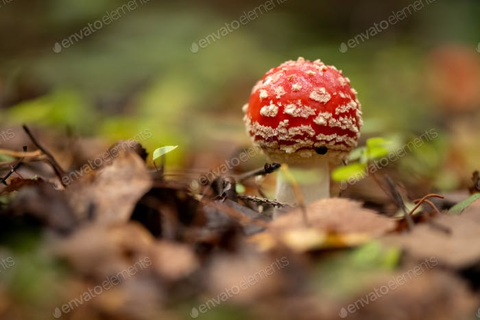 Poisonous fly agaric mushroom in autumnal forest
