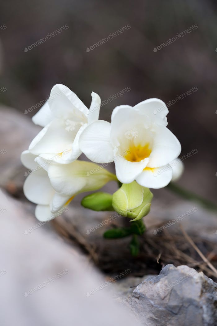White freesia flower blossom after winter